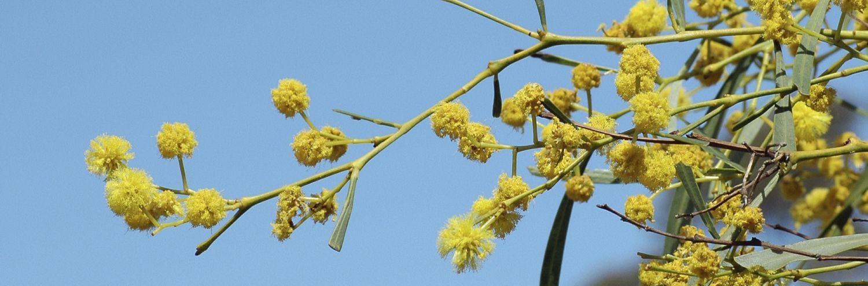 australian-wattle-flowers-2207034.jpg